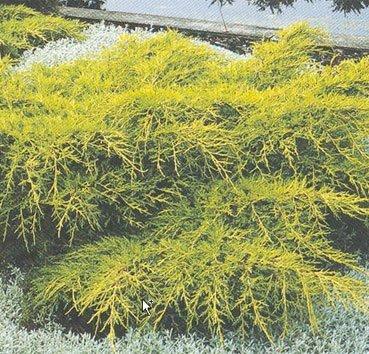 Можжевельник средний  «gold coast» (Juniperus media )