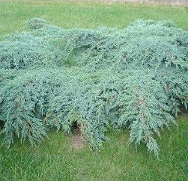 Можжевельник чешуйчатый »Blue Carpet» (Juniperus squamata )