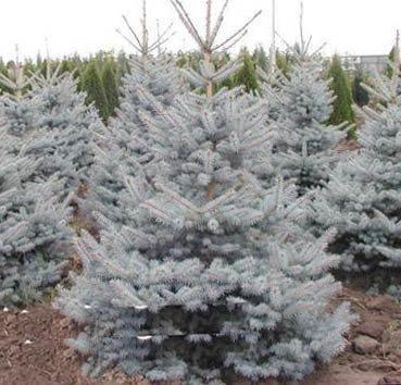 Ель колючая «edith » (Picea )