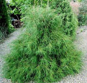 Туя западная «Филиформис» (Thuja occidentalis «filiformis» )