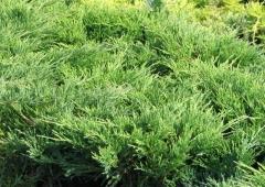 Можжевельник горизонтальный «Андорра Компакт» (Juniperus horizontalis )