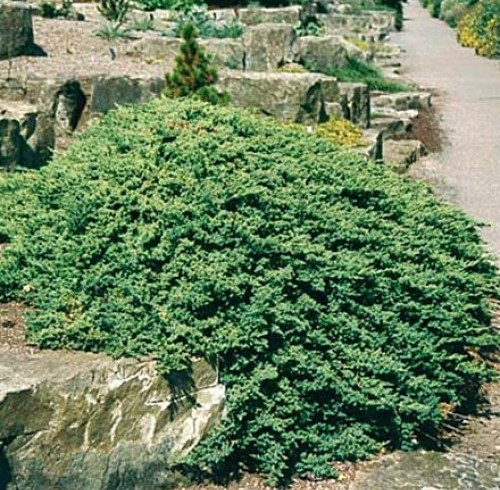 Можжевельник   лежачий Nana (Juniperus )