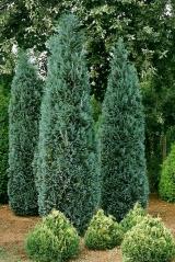 Кипарисовик Лавсона 'Ellwoodii' (Chamaecyparis lawsoniana 'Ellwoodii')