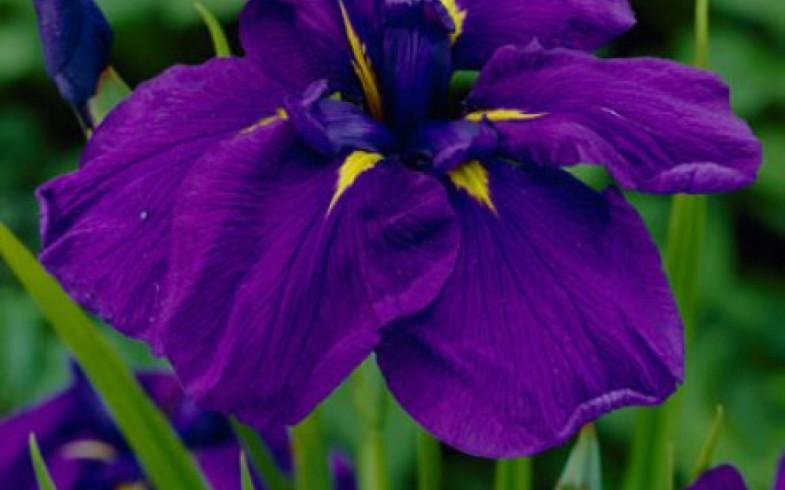 Ирис «sensation» (Iris )