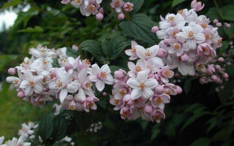 Дейция гибридная «Mont Rose» (Deutzia hybrida «Mont Rose» )