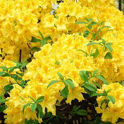 Азалия »Anneke» ( Azalea hybridum »Anneke» )