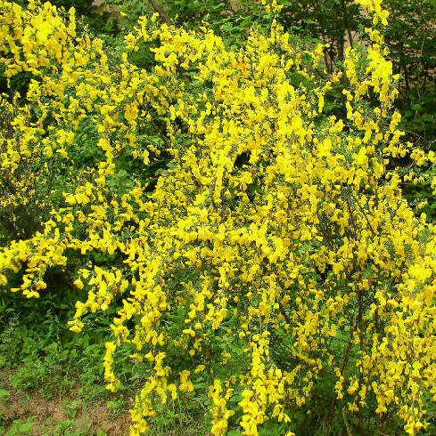 Ракитник «Golden Sunlight» (Cytisus «Golden Sunlight»)