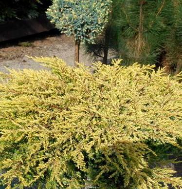 Можжевельник обыкновенный  »Goldschatz» (Juniperus communis )