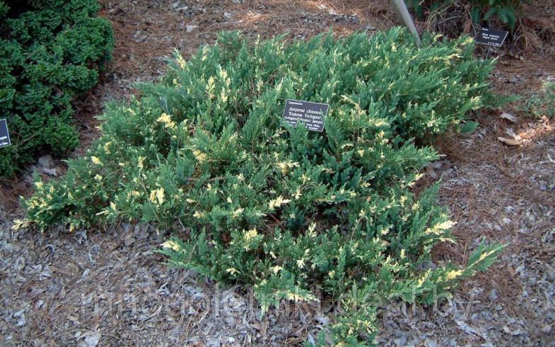 Можжевельник горизонтальный «Andorra Variegata» (Juniperus horizontalis)