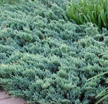Можжевельник горизонтальный «blue chip»  (Juniperus horizontalis )