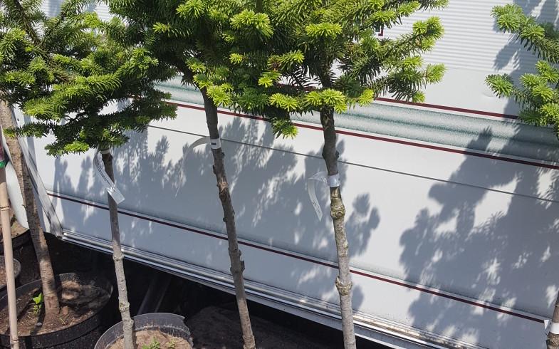 Пихта бальзамическая»nana» ( Abies balsamea  nana ) на  штамбе