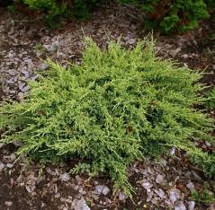 Можжевельник чешуйчатый «dream joy» ( Juniperus squamata  )