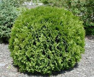 Туя западная «Вудварди» (Thuja occidentalis «woodwardii «)
