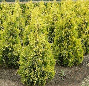 Туя западная «Yellow Ribbon» (Thuja occidentalis »Yellow Ribbon»)