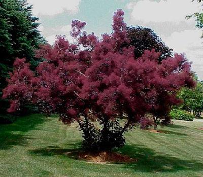 Скумпия кожевенная «Роял Пёрпл» (Cotinus coggygria «Royal Purple» )