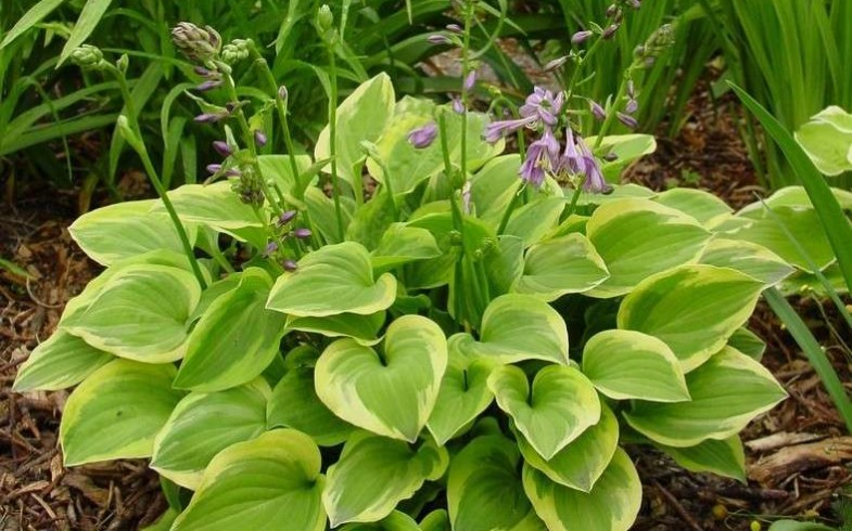 Хоста «Golden Tiara » (Hosta «Golden Tiara»)