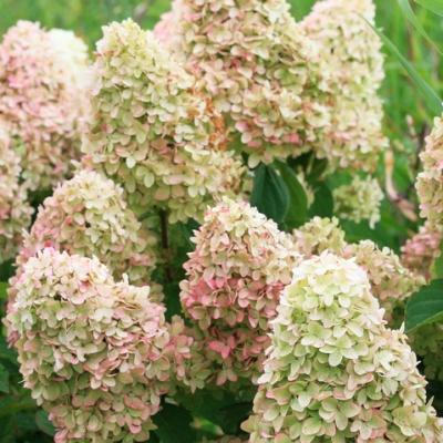 Гортензия метельчатая «Мейджик Кендл» (Hydrangea paniculata `Magical Candle`)