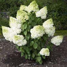 Гортензия метельчатая «Мейджикл Мунлайт» ( Hydrangea paniculata 'Magical Moonlight')