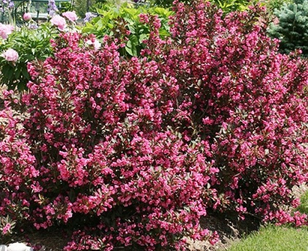 Вейгела Нана пурпуреа (розовая) ( Weigela(pink)