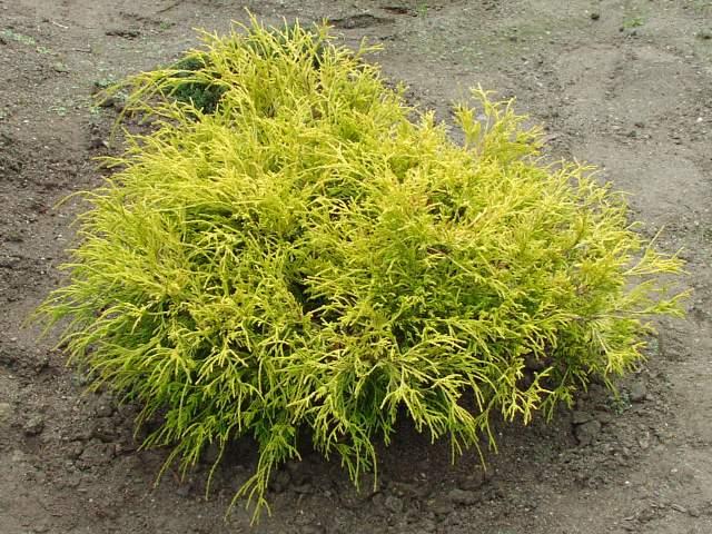 Кипарисовик горохоплодный «golden-mop» (Chamaecyparis pisifera )
