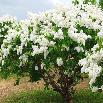 Сирень  «agnes smith» (Syringa )