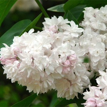 Сирень»beauty of moscow» (Syringa )
