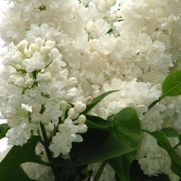 Сирень «miss ellen willmott» (Syringa )