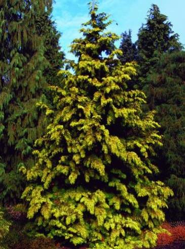 Туя «Зебрина экстра голд» (thuja plicata «zebrina extra gold» )
