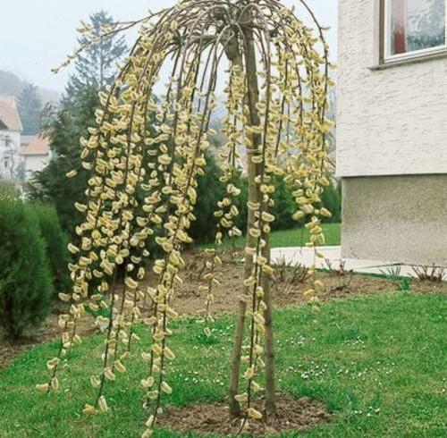 Ива козья «Пендула» (Salix caprea pendula  )