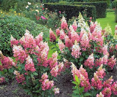 Гортензия метельчатая «Мега Минди» ® (Hydrangea paniculata «Mega Mindy» )