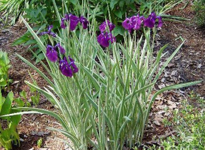 Ирис «variegata»
