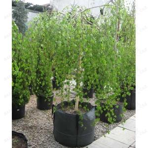БЕРЕЗА ПОВИСЛАЯ ГРАЦИЛИС   ( Betula pendula `Gracilis`) на штамбе 180 см