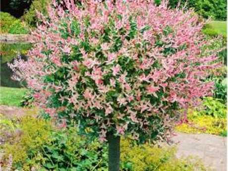 Клен ясенелистный Фламинго (лат. Acer negundo Flamingo)  на штамбе Ра 160 см