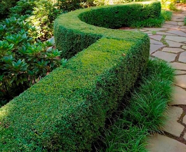 Самшит вечнозеленый «sempervirens» (Buxus sempervirens)