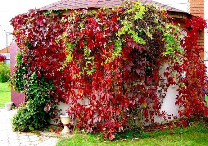 Девичий виноград (Parhenocissus)