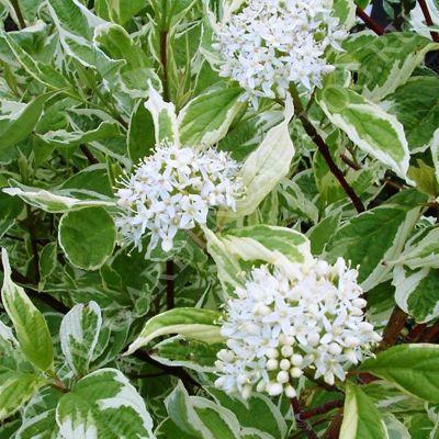 Дерен белый Аргентеомаргината или дерен белый Элегантиссима (Cornus alba Argenteomarginata / Cornus alba Elegantissima)