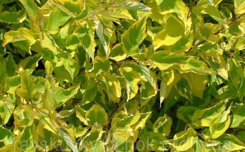 Дерен белый  «Spaethii»  (Cornus alba )