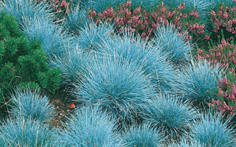 Овсяница  «elijah blue» (Festuca )