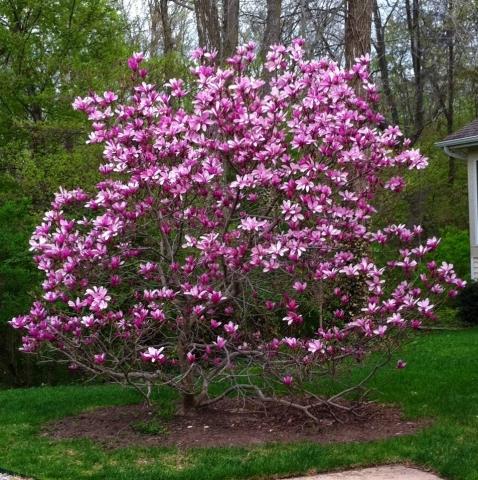 Магнолия лилиецветная 'Nigra' ( Magnolia liliiflora 'Nigra')