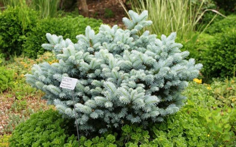 Ель колючая глаука»Глобоза» (Picea  'Glauca ' pungens «Globosa» )