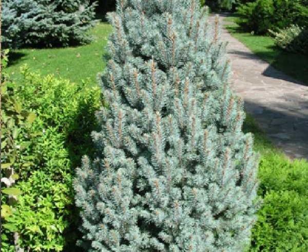 Ель колючая «Изели фастигиата» (Picea pungens iseli fastigiate   )