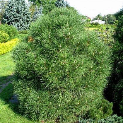 Сосна «varella» (pinus)
