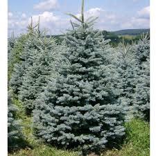 Ель  'Glauca'  (Picea  'Glauca')