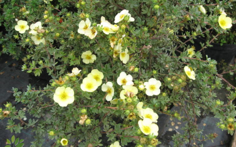 Лапчатка кустарниковая «Tilford Cream»  (Potentilla fruticosa «Tilford Cream»)