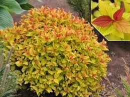 Спирея японская  'Goldflame'  (Spiraea japonica Goldflame)