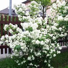 Чубушник «schneesturm» (жасмин садовый) махровый  (Philadelphus )