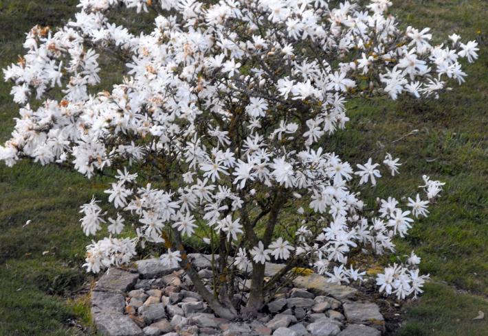 Магнолия звездчатая (Magnolia stellata)