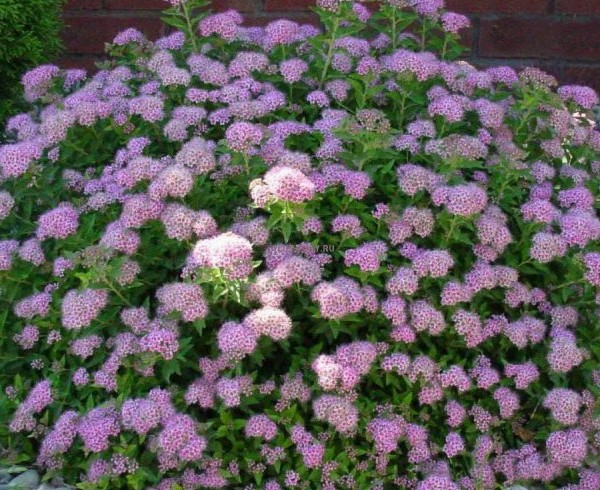 Спирея японская «Little-princess» (Spiraea Little-princess)