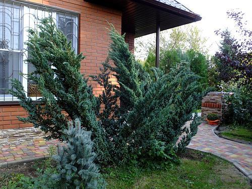 Можжевельник чешуйчатый Meyeri (Juniperus squamata )