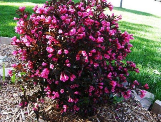 Вейгела цветущая Минор Блэк   (Weigela florida Minor Black)